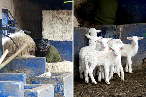 La mungitura delle pecore