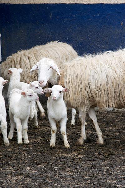Pecore ed agnelli